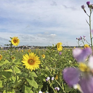 Sonnenblumenfeld mit Blick auf Berg