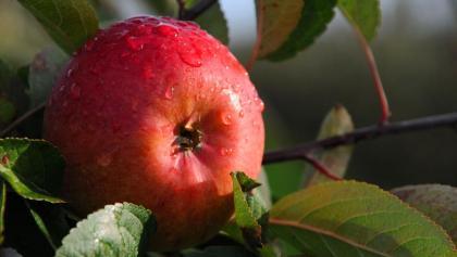 Apfel im  Alten Land