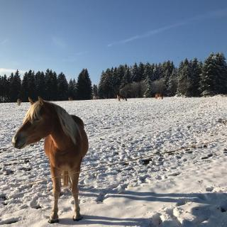 Haflinger im Winter