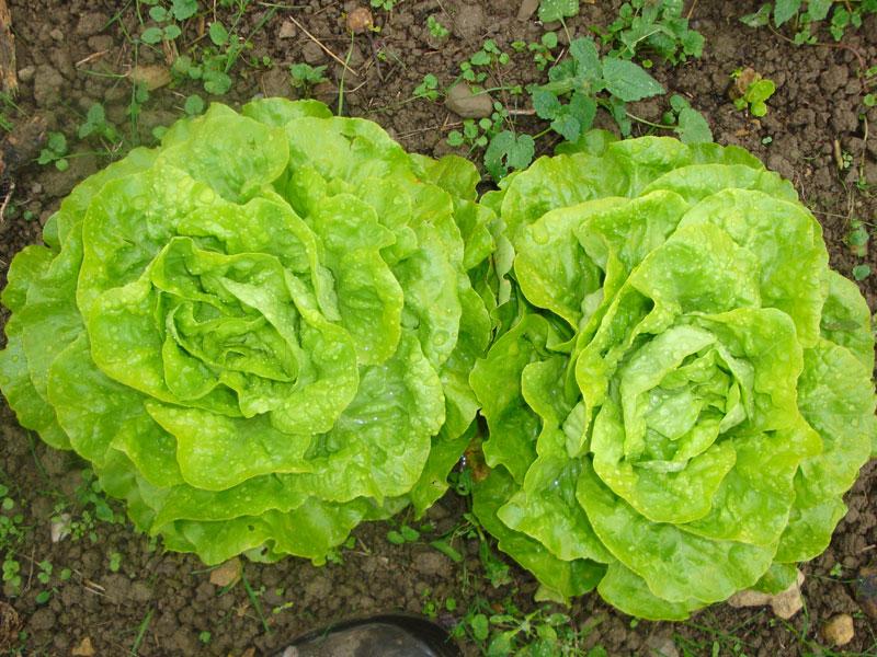 Gemüse frisch vom Acker  - @ Autor: Beate Philipp  - © Quelle: Bioland-Hof Kleincomburg GbR