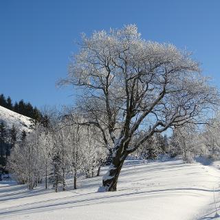 Baum zwischen Schattwald und Zöblen