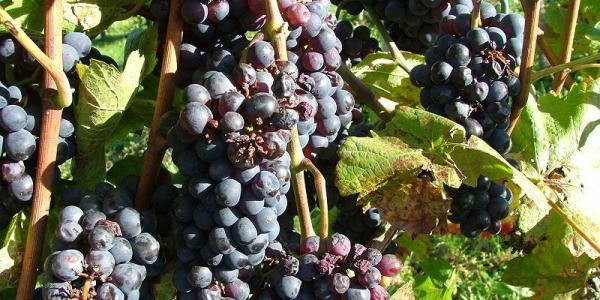 Herrliche Weinlage