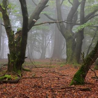Buchen im Naturschutzgebiet Altkönig