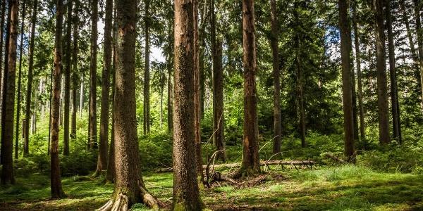 Bannwald Enzklösterle