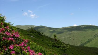 Almrausch auf der Hirschegger-Alm im Frühling