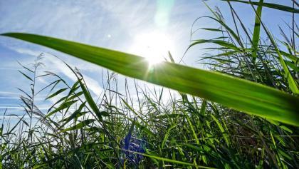 Reed at the Rheindelta