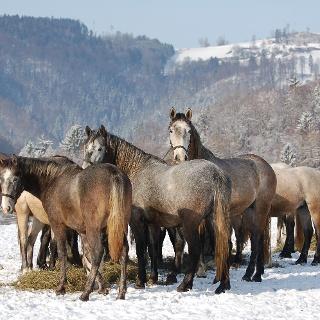Junghengste im Winter Außenhof Wilhelm