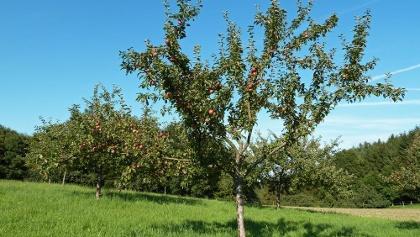 Apfelbäume am Weg