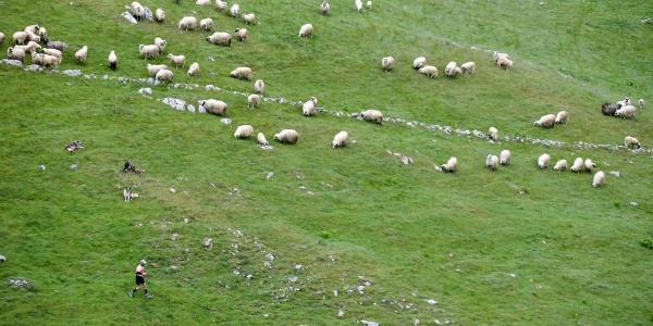 sheep flock on Bjelasnica