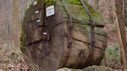 320 Jahre alte Stieleiche