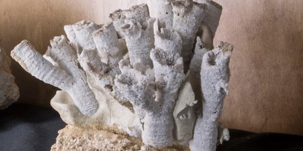 Koralle im Riffmuseum