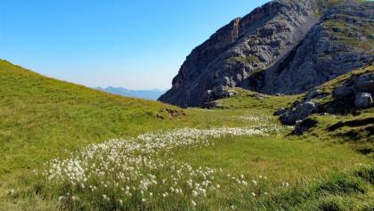 Feuchtigkeit liebendes Wollgras auf landschaftsprägenden Tonstein