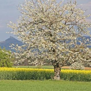 Obstblüte im Streuobstparadies