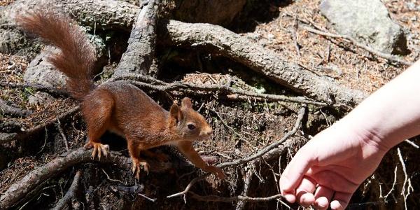 Eichhörnli auf dem Eichhörnliweg