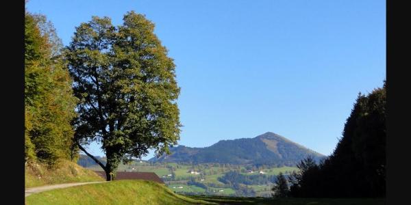 "Blick auf das Naturdenkmal ""Ahornbaum"""