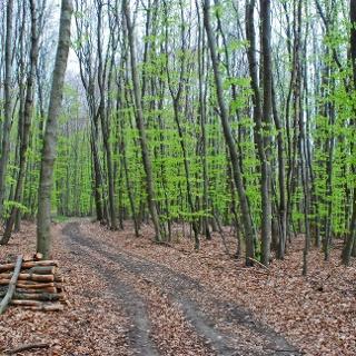 Im Buchenwald bei der Redlingerhütte