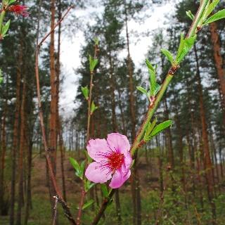 Föhrenwald unter der Anzengruberhöhe