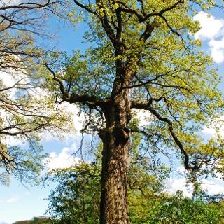 Der namensgebende Baum am Eichenhain