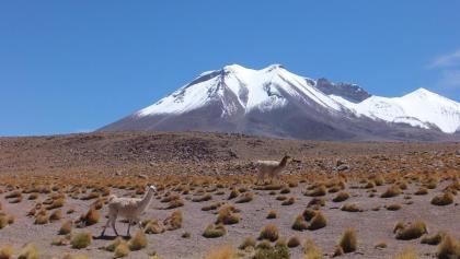 Lamas in Bolivien