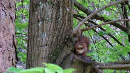 Ein neugierige Eichhörnchen