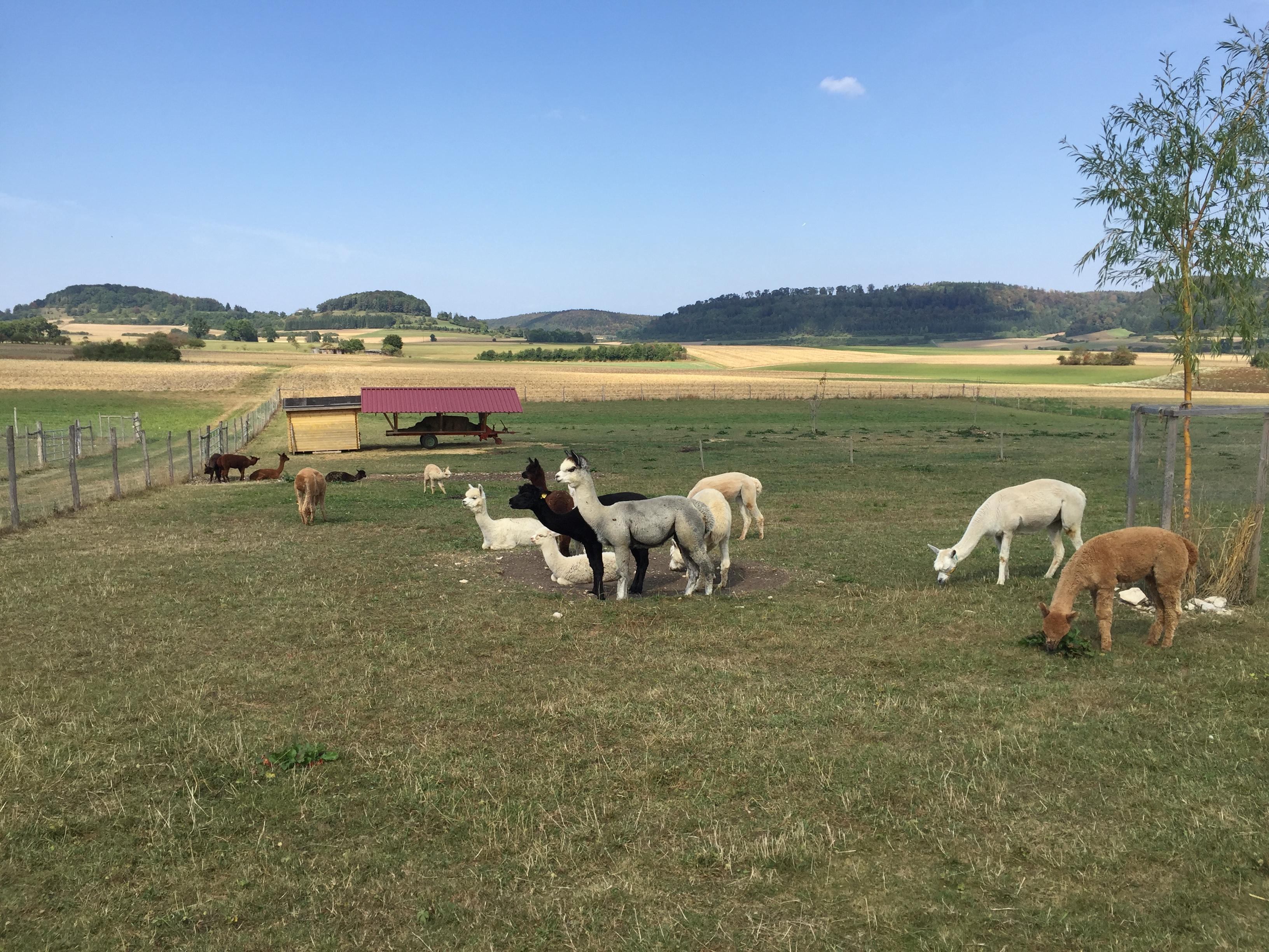 Alpaka-Gehege bei Ringingen
