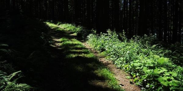 Waldpfad am Ostrong