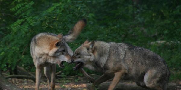Zwei kämpfende Wölfe