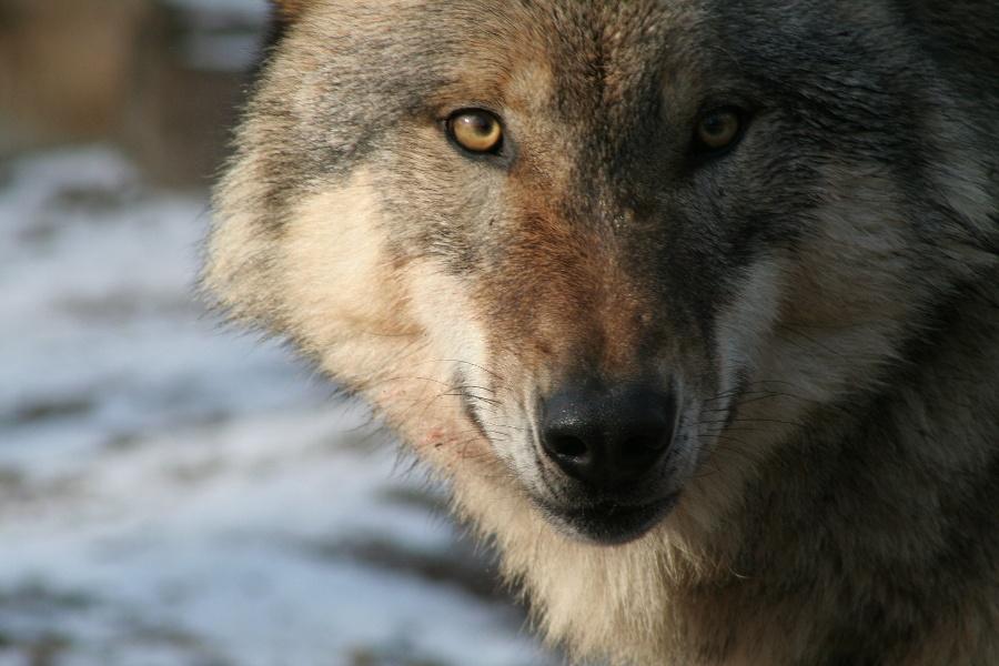 Höchenschwand, Weilheim, Waldshut-Tiengen: Wolfssteig