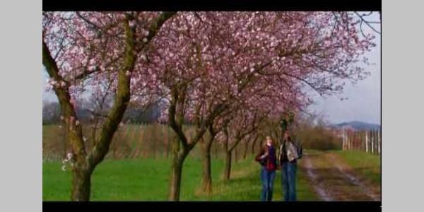 Mandelblüte an der Deutschen Weinstraße