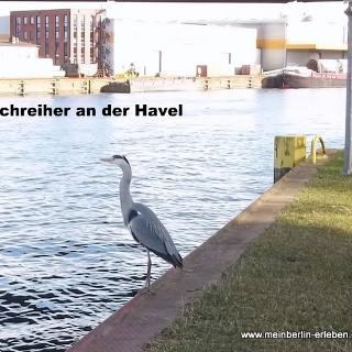 Fischreiher an der Havel