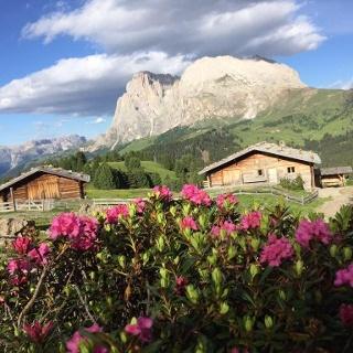 Alpenrosenblüte unter Langkofel und Plattkofel