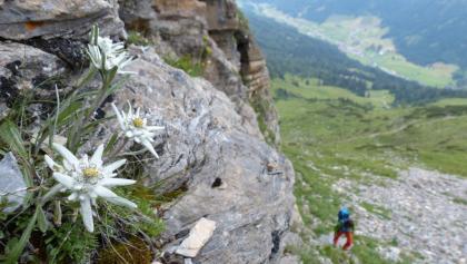 Edelweiß am Höhenweg zum Tribulaunhütte