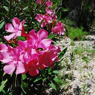 Wilder Oleander neben dem Flussbett des Chapotami