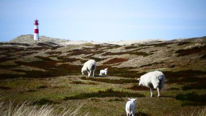 Schafe am Ellenbogen