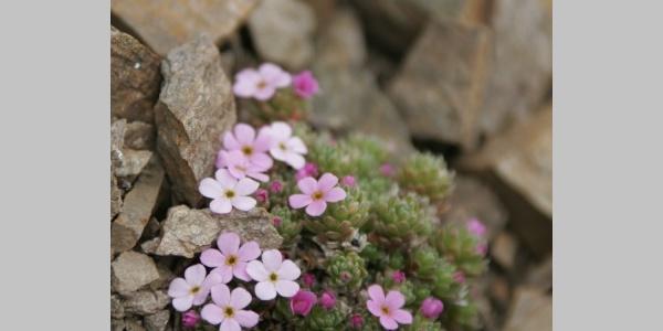Alp-Blumen entzücken!