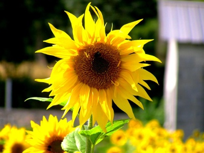Sonnenblumen-Kultur im Aufstieg nach Saint Roch