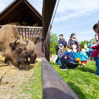 Európai bölények a Körösvölgyi Állatparkban