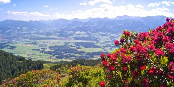 Alpenrosenblüte am Rangiswanger Horn