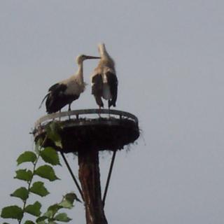 Storchenpaar an der Göckelmühle