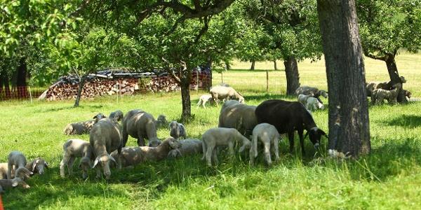 Schafe auf dem Hof Holzapfel