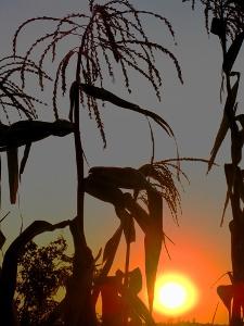 Mais vom Licht durchflutet