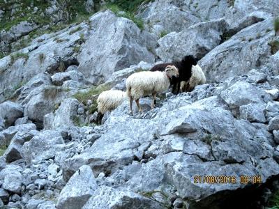 machen die Schafe den Weg wohl  frei?