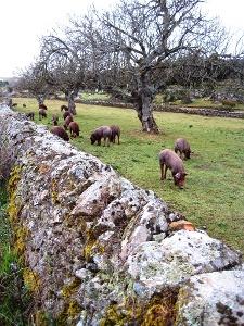 die berühmten iberischen Schweine