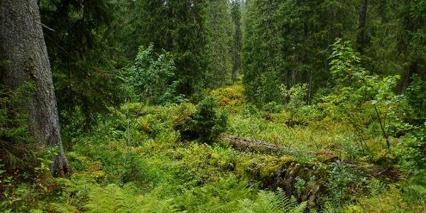 Waldlichtung mit Jungwuchs auf altem Baumstamm.
