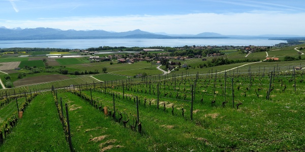 Aussicht über die Weinberge zum Genfersee