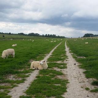 Schaf auf Radweg
