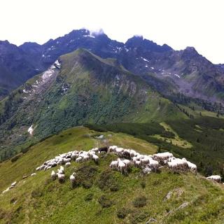sheep flock with view of Bärfallspitze