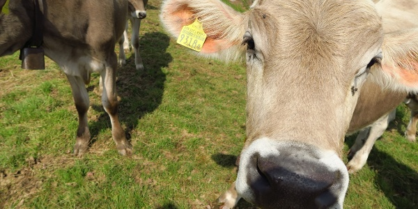 Begegnung mit Kühen auf der 7-Gipfel- und 14-Seenblick-Tour.