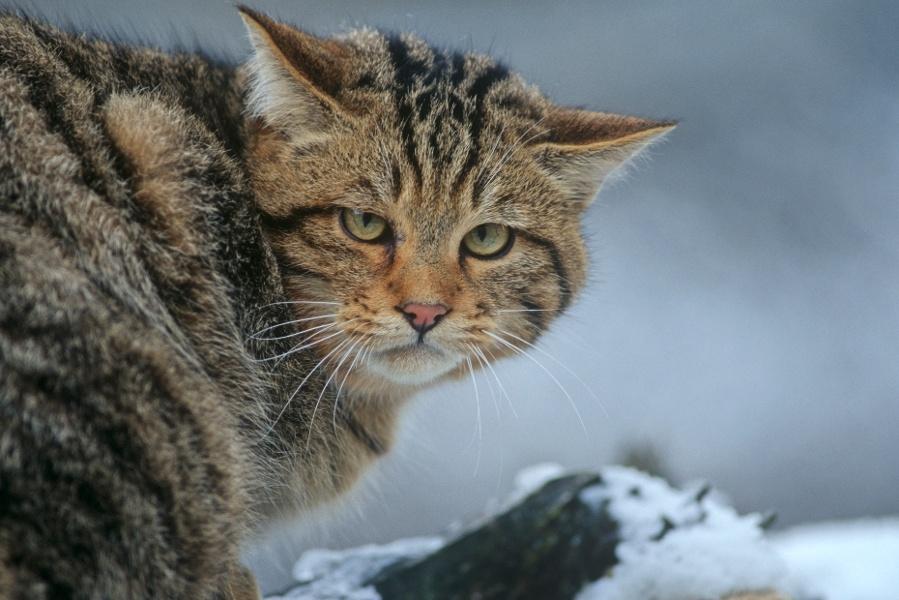 Im Reich der Wildkatze - Teufelsmühle, Teufelskammern und Albursprung