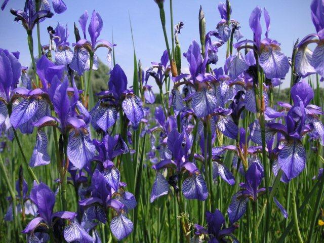 Blühende Iris im Natur- und Vogelschutzgebiet am Südufer des Ammersees ()